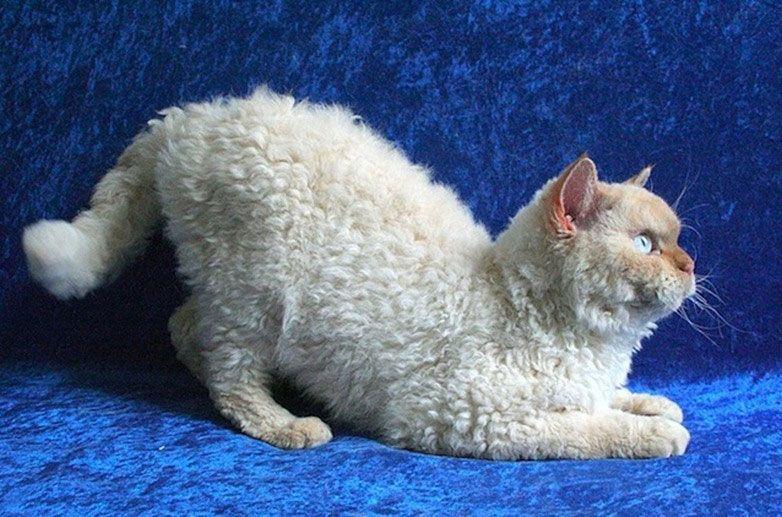 Пудилькэт кошка
