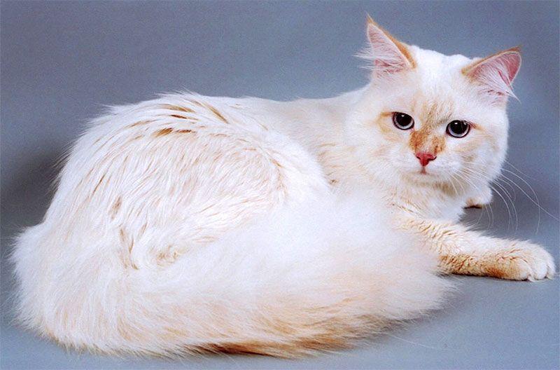 Ред-пойнт кошка