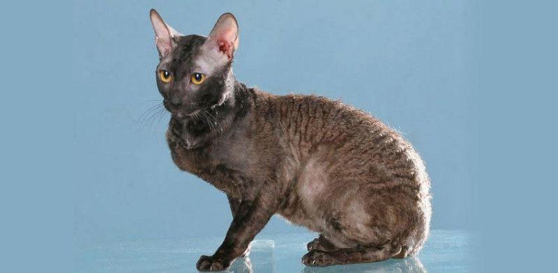 Рексовая порода кошки