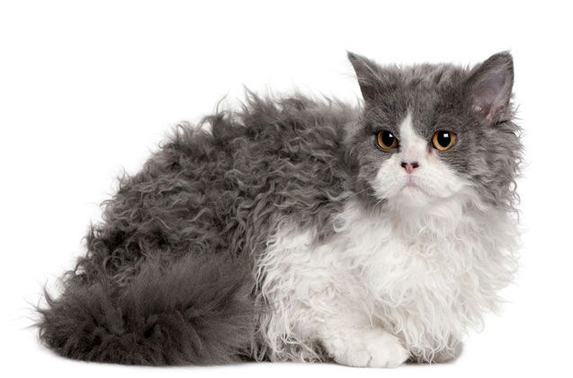 Селкирк Рекс кошка