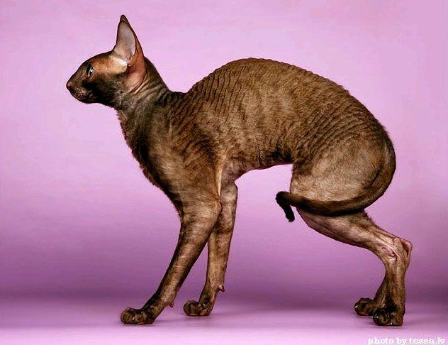 Си Рекс порода кошки