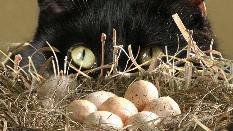 Источники белков для кошек – яйца