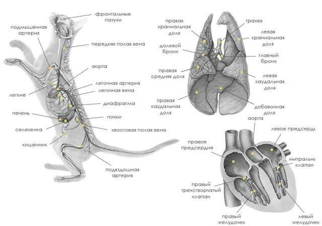 Внутренние органы - Внутреннее строение кошки