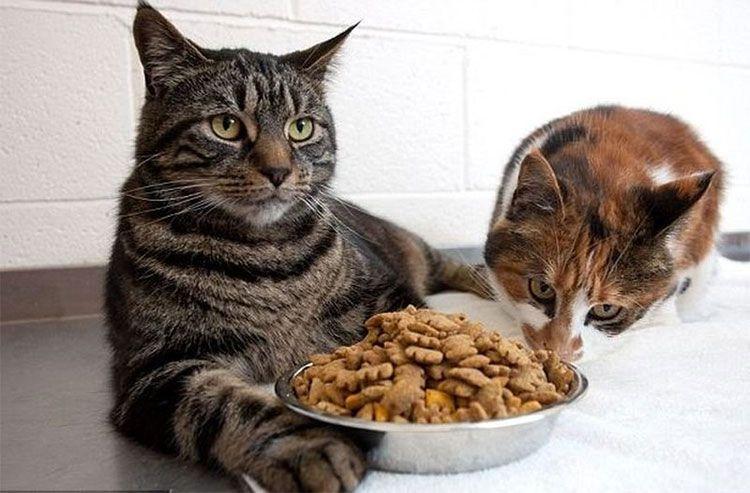 Ориентировочные нормы кормления кошек