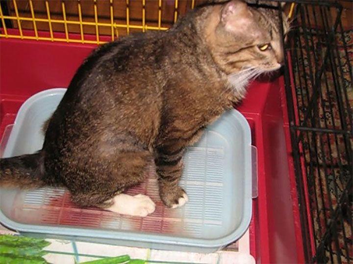 Признаки цистита у кошек