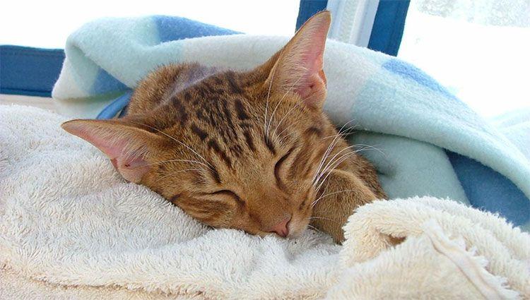 Цистит у кошек и его лечение