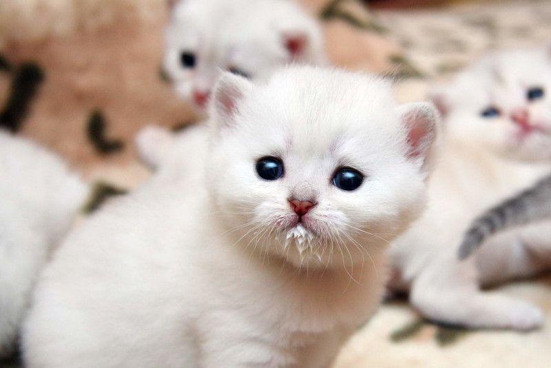 Выбор питомца кошки: возраст и место покупки