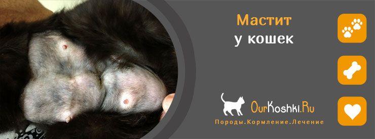 Мастит у кошки — лечение в домашних условиях