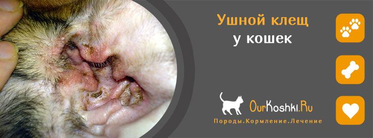 Ушной клещ у кошек: лечение заболевания
