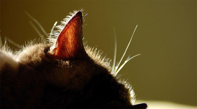 Насколько остр слух у кошек?