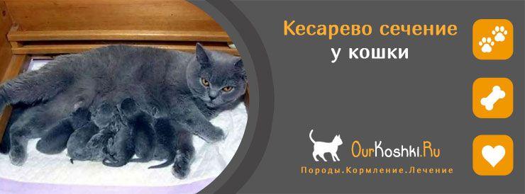 Про кесарево сечение у кошки
