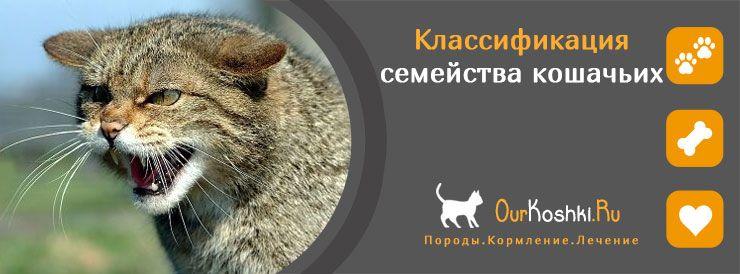 Классификация семейства кошачьих