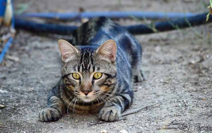 Кошка охотится