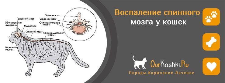 Воспаление спинного мозга у кошек