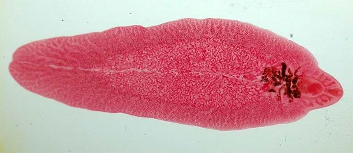 Трематоды (плоские черви)