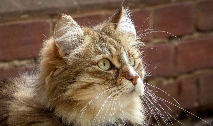 Можно кошкам стричь усы?