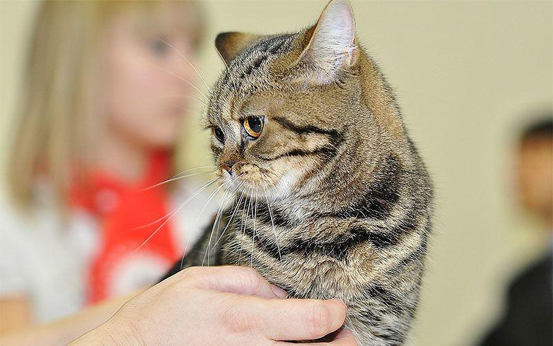 Выставочные классы кошек