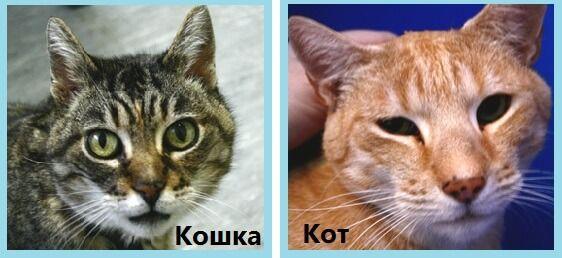 Отличие кота от кошки по морфологическим признакам