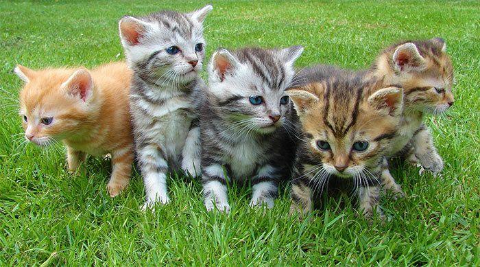 Половая идентификация у кошек