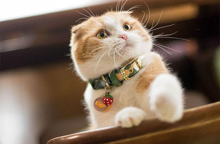 Как назвать шотландского котенка по внешнему виду и характеру