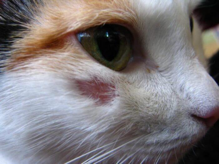 Виды лишая у кошек