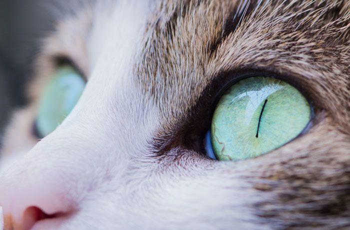 Здоровые глаза кошки