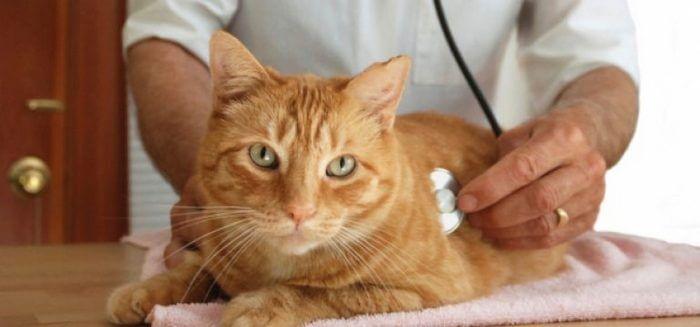лечение рвоты у кошек