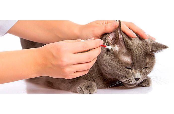 Как почистить уши коту