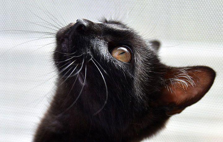 Клички для черных котов мальчиков и девочек