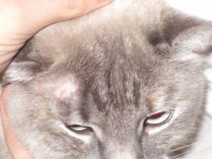 Вирусный лишай у кошек