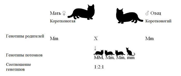 Генотипическая запись скрещивания коротконогих манчкинов