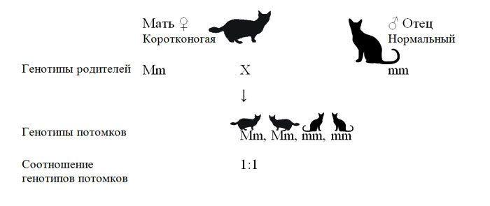 Схема скрещивания коротконогих манчкинов с нормальными кошками