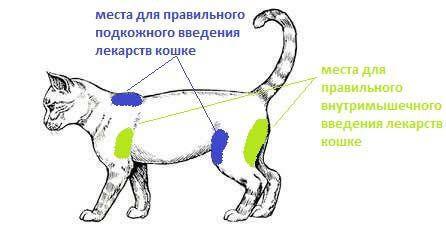 Правильные места для уколов кошке