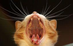 Неприятный запах изо рта у кошки