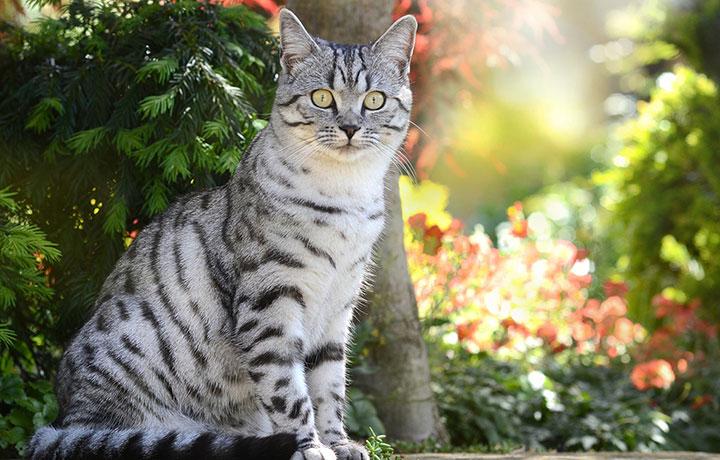 Британская серебристо-полосатая кошка
