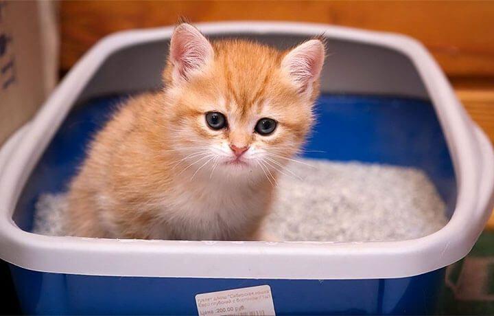 Как приучить котёнка к лотку