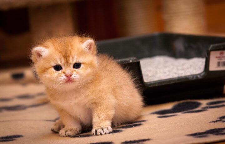 Чем котенок младше, тем легче его приучить к лотку