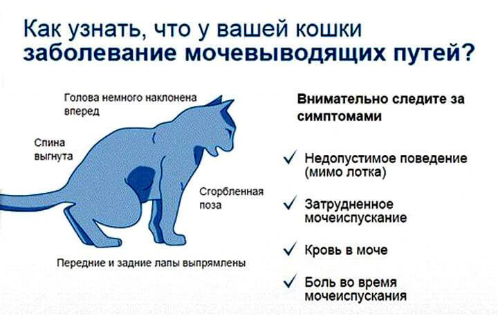 Цистита болезни кошек мочекаменной лечение цистите фиточай при