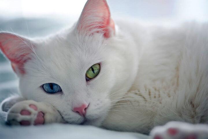 Порода кошки Као-мани