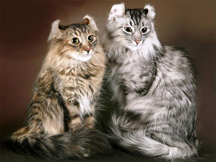 Порода кошки Американский Кёрл