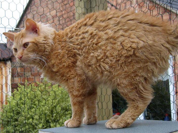 Кошка породы Ламперм