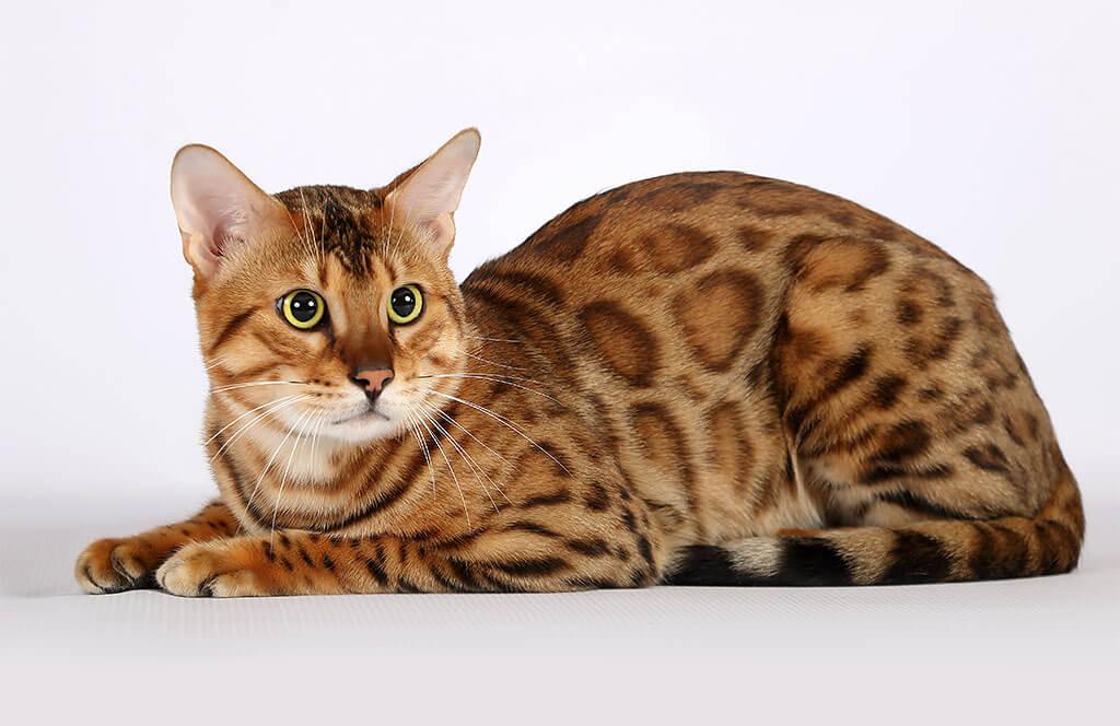 кошки пятнистые порода фото