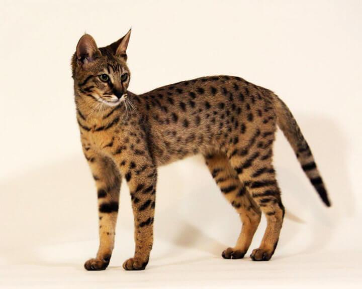 Порода кошки Савана (Ашера)