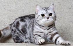 Шотландская порода кошек скоттиш страйт