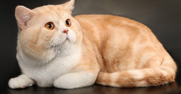 Шотландская кошка Скоттиш страйт рыжего окраса
