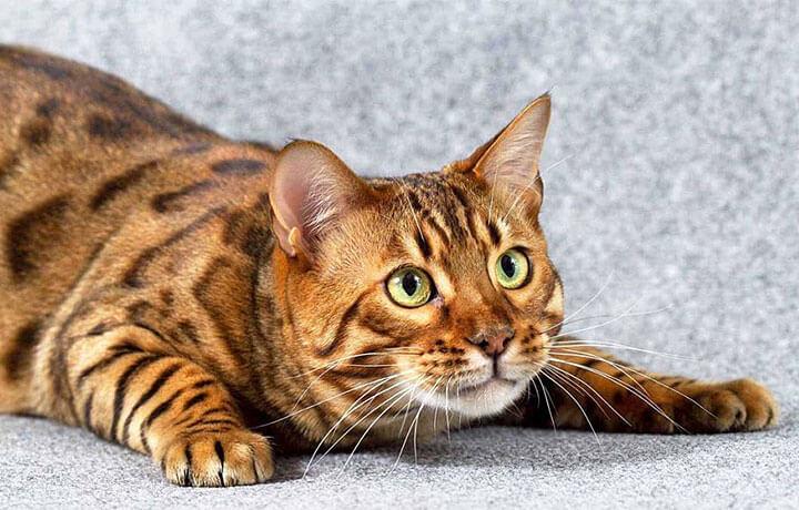 бенгала - леопардовая порода кошек