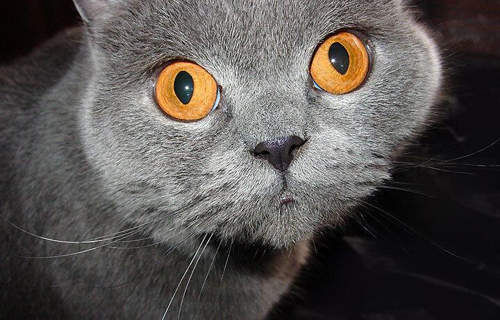 Идеи для кличек британских кошек