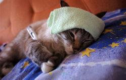 Кальцевирусная инфекция у кошек