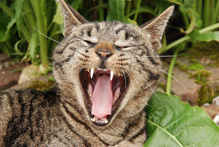 пасть с зубами кошки