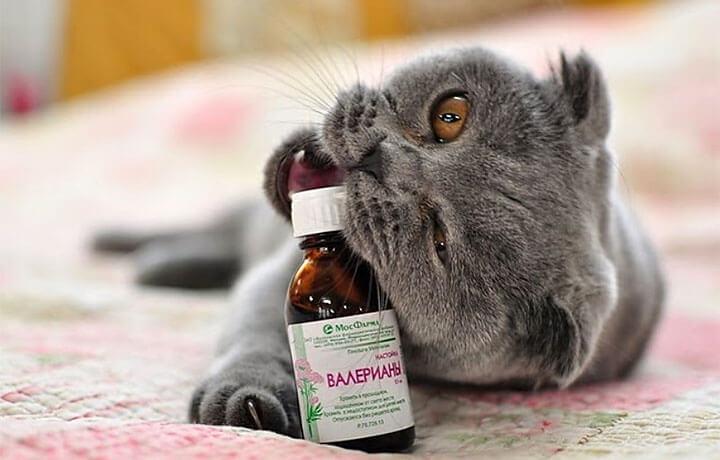 Почему на. кошек действует валерьянка на